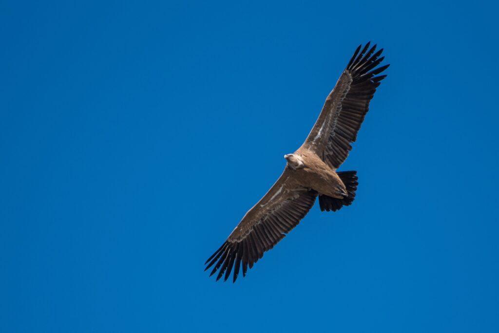 A soaring Griffon Vulture