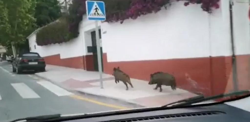 Wild Boar on a Malaga residential street
