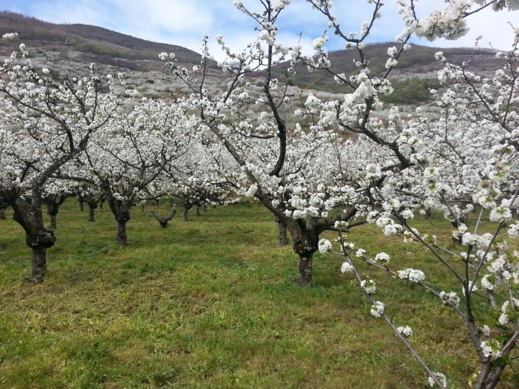 Cherry trees in the Jerte Valley, Spain