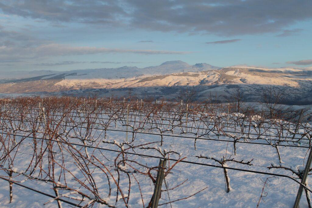 Snowy vineyard at high altitude in the Sierra Nevada