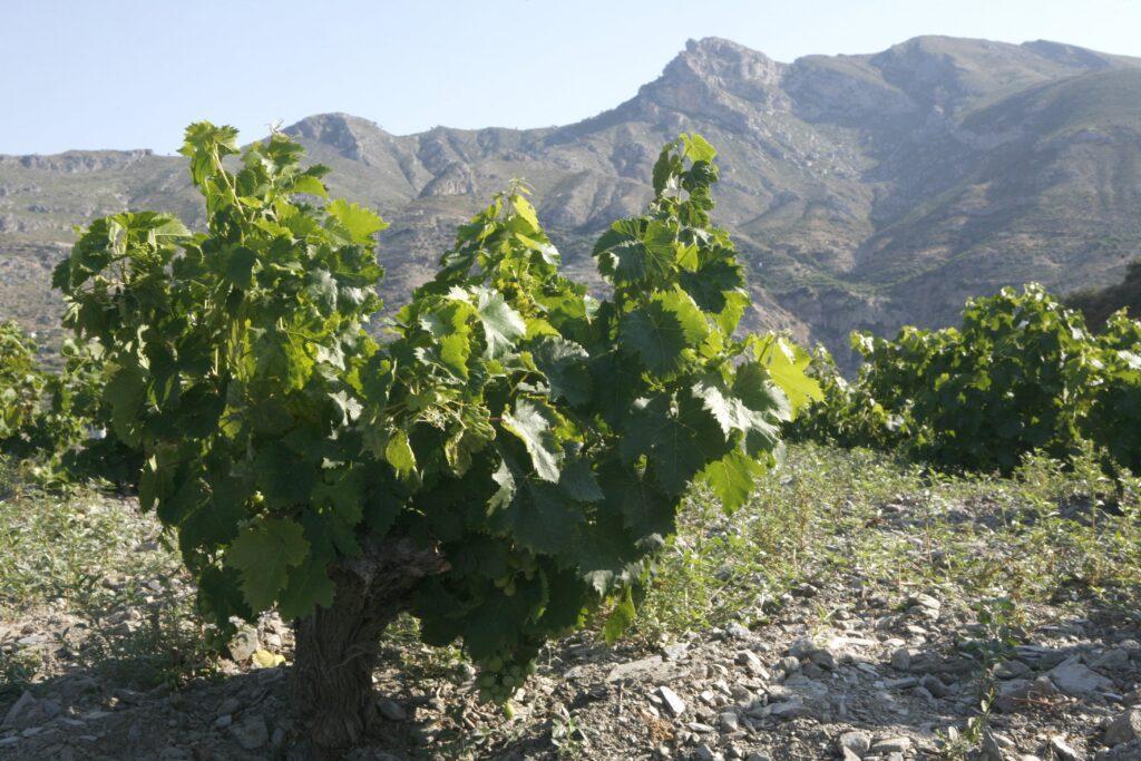 Vineyard at the foot of the Sierra Nevada