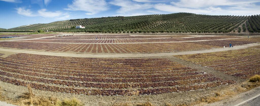 Drying Pedro Ximenez grapes